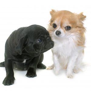 puppy black pug and chihuahua