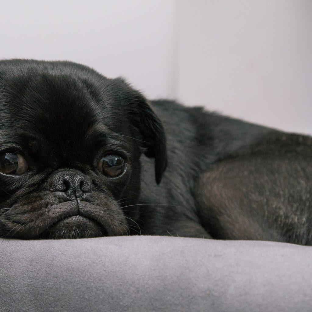 sleeping black pug