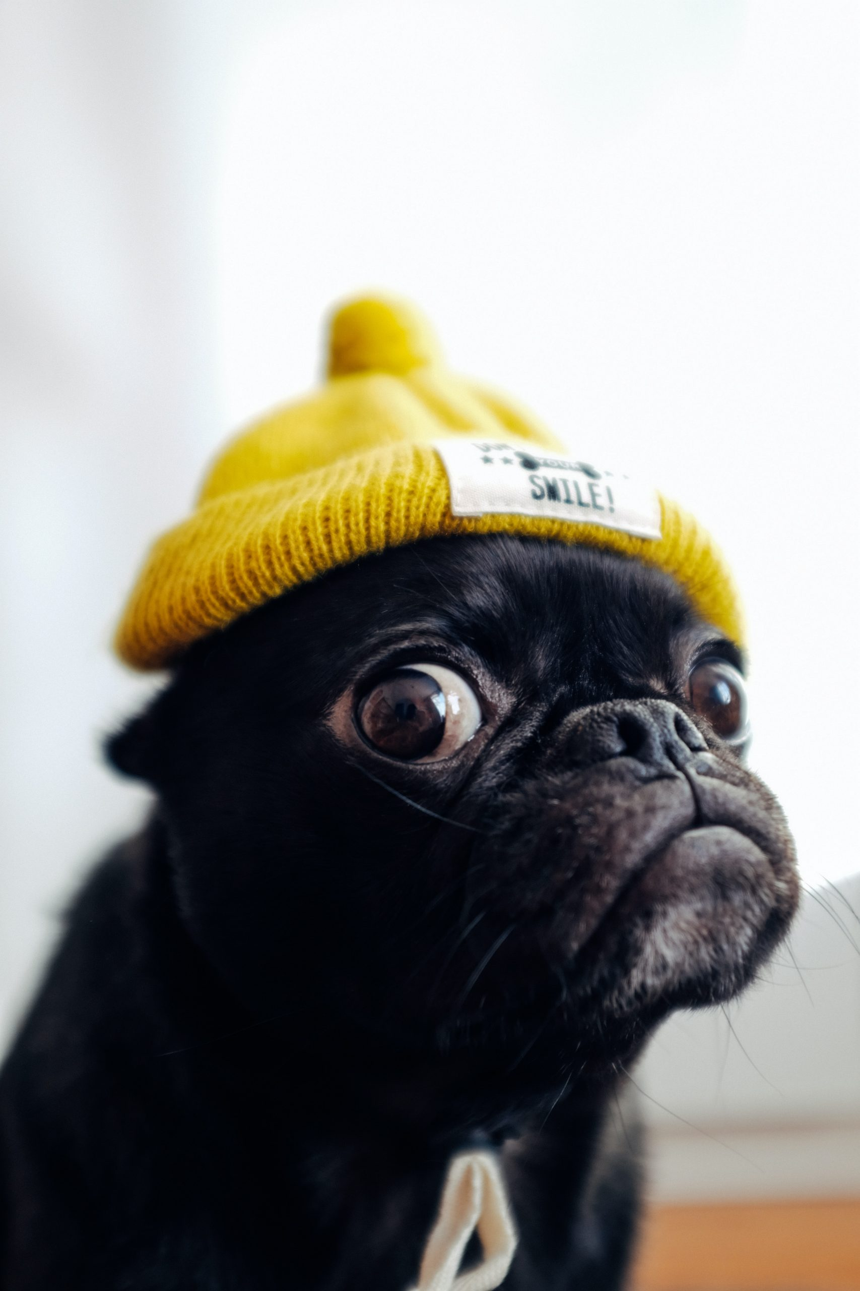 Pug in Yellow Hat